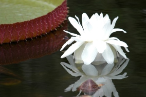 Victoria Water Lily, photo by Robert Leedy